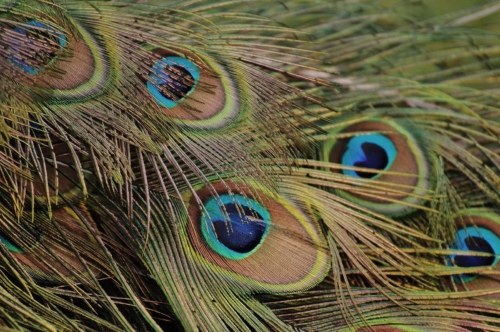 peacock-feathers-1312509 1920sat